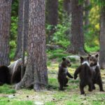 Finland Photographer Captures Bear Cubs Dancing In A Circle